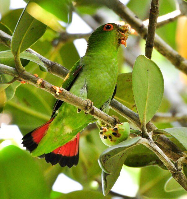 Brown-backed parrotlet eats Clusia fruit, Guarapari, Brazil #ParrotOTD. Andréa Faria Santos http://www.wikiaves.com.br/1622529&p=1&t=s&s=10462 …-Media Tweets by Parrot Of The Day (@ParrotOfTheDay) | Twitter