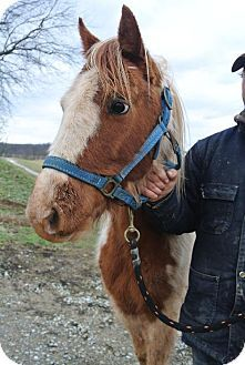 Sistersville, WV - Paint/Pinto/Pony - Equine. Meet Geronimo, a pet for adoption. http://www.adoptapet.com/pet/9648089-sistersville-west-virginia-horse