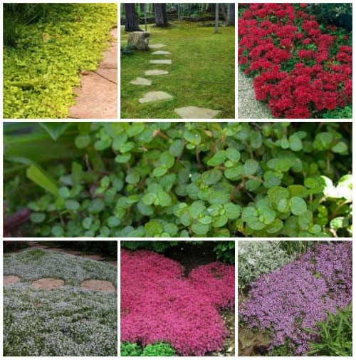 1000 Ideas About Ground Covering On Pinterest Perennial