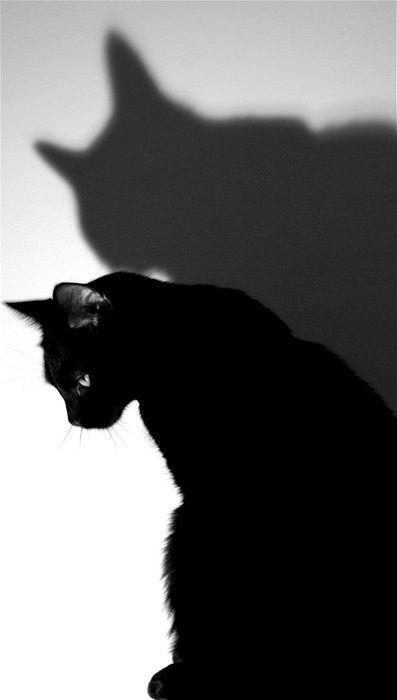 cat: Cat Shadow, Animals, Chat Noir, Black Cats, Shadow Cat, White, Beautiful Black, Blackcats, Shadows