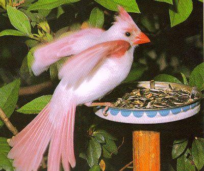 a Leucistic Cardinal seen at a bird feeder in Florida...(I wish it had been mine! EM)