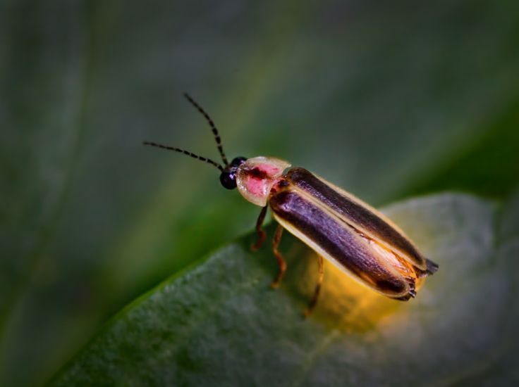 Firefly      Location     Fireflies  are found on grasses, shrubs and   trees in woodlands, fields and gardens.             F...