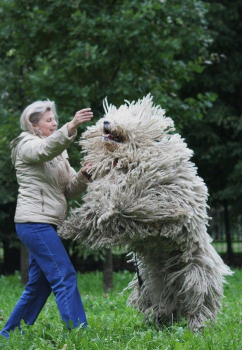 10 Ideas About Komondor On Pinterest Big Dogs Pets And