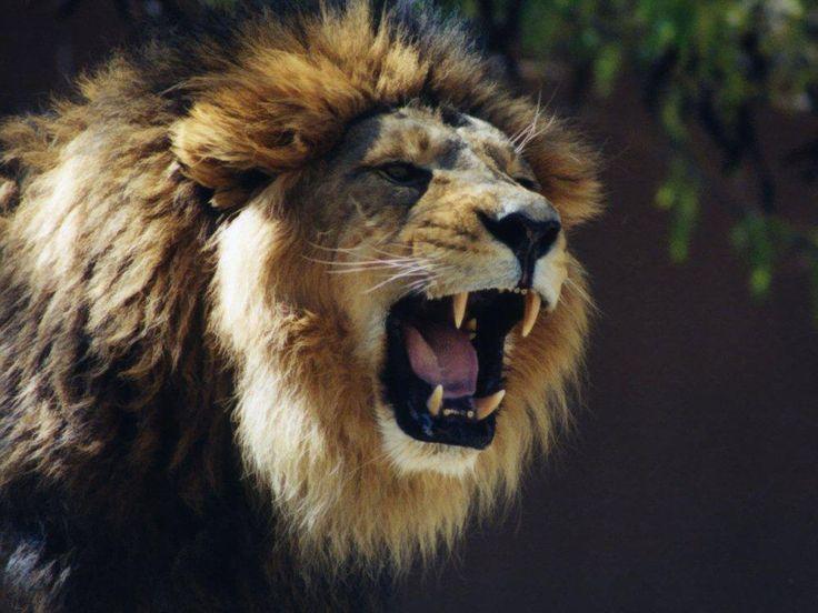 Best 25 Lion Hd Wallpaper Ideas On Pinterest: Best 25+ Lion Wallpaper Ideas On Pinterest