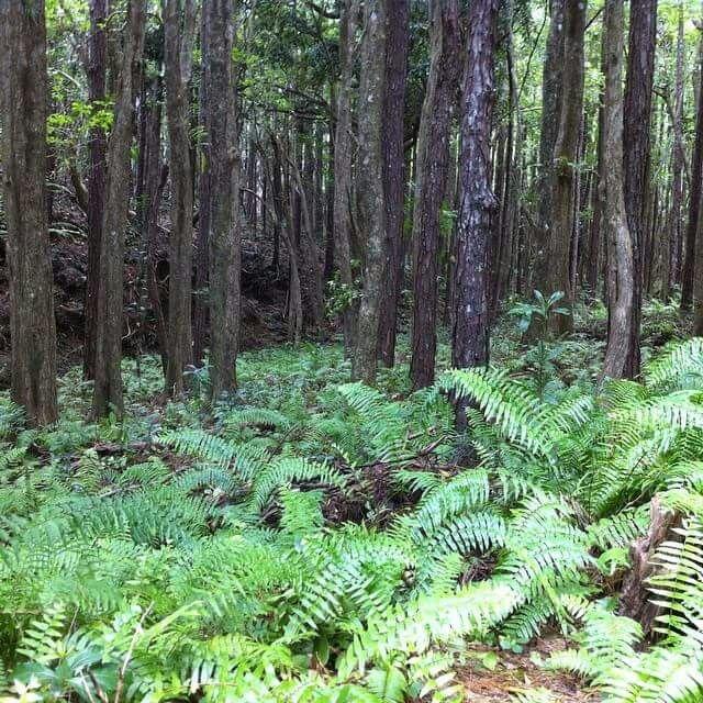 Endangered fern