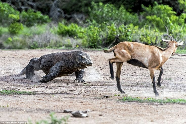 #FloresIndonesia Komodo dragon gives chase to a wild goat in the Komodo island.
