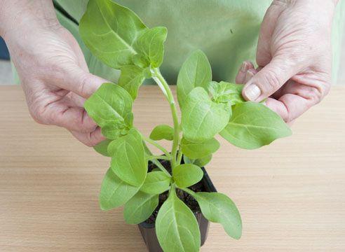 петуния, выращивание рассады, кущение рассады после прищипки