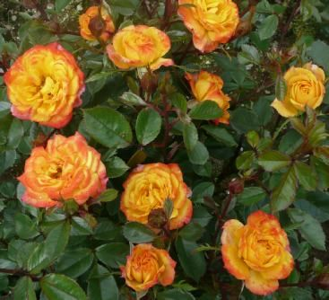 """IRISH EYES (Dicwitness) 2000                           £8.50  This """"Rose of the Year"""" 2000 truly sparkles with colour. Starts off yellow with scarlet edges, but as the flower matures the scarlet will tend to increase. This is a very healthy and vigorous variety which became instantly popular."""
