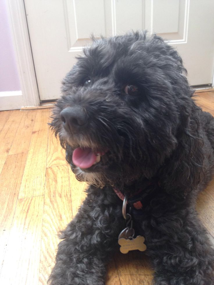 This is Onyx my cocker spaniel/poodle mix! I thought it would be nice to share him with you guys http://ift.tt/2pFOPx8