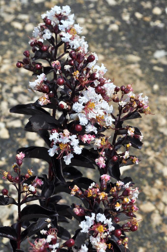 Crape Myrtle Black Diamond Blush White Plants Myrtle