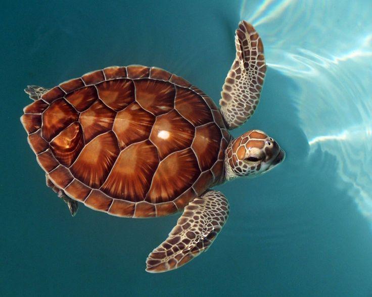 caparazon de la tortuga marina - Buscar con Google