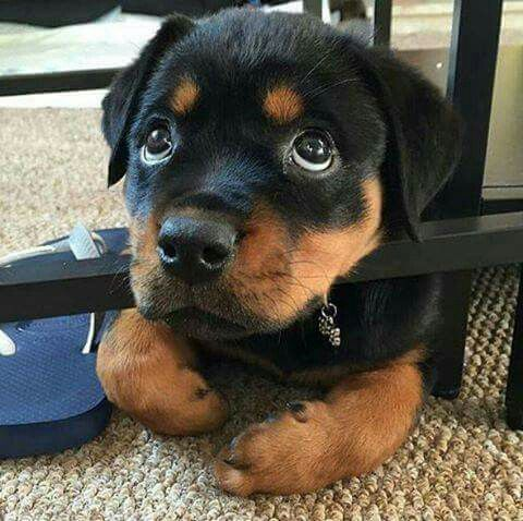 Protector, loyal family member.