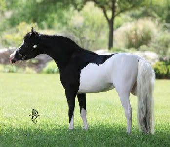 Black and white pinto horse - photo#14