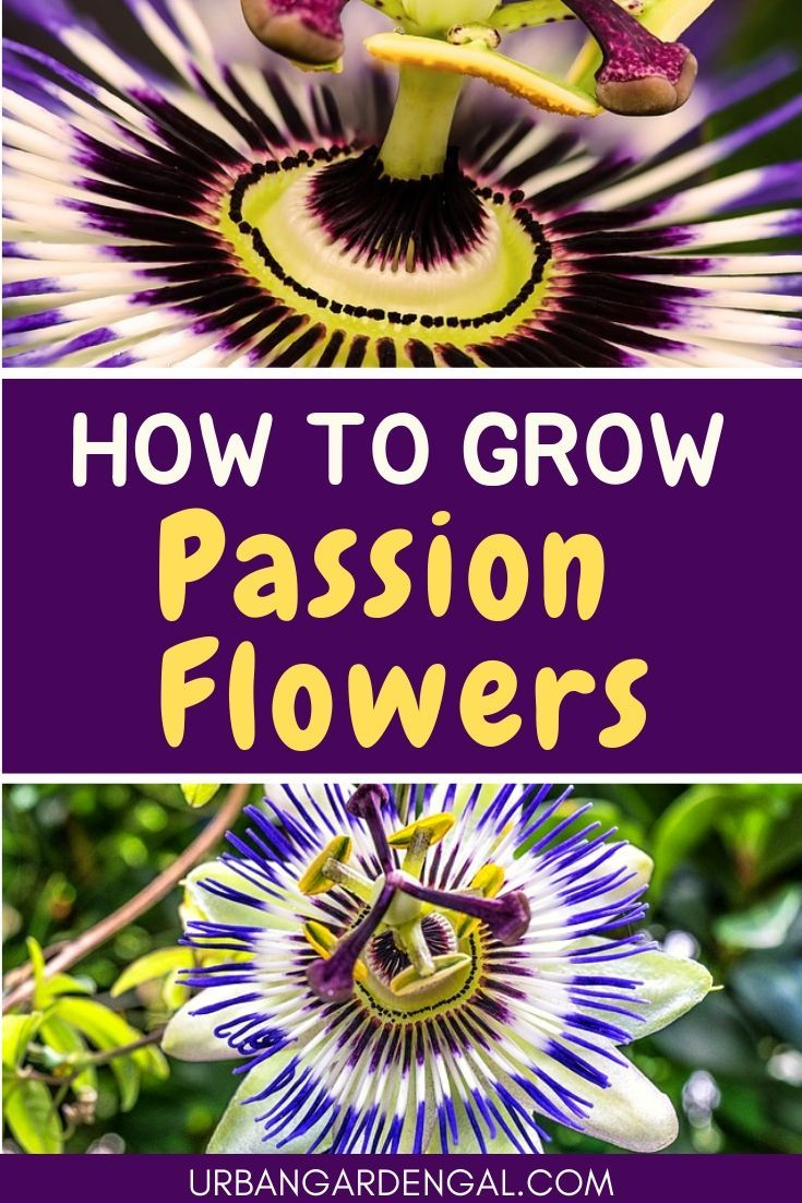 How To Grow Passion Flowers Passion Flower Garden Vines Flowering Vines
