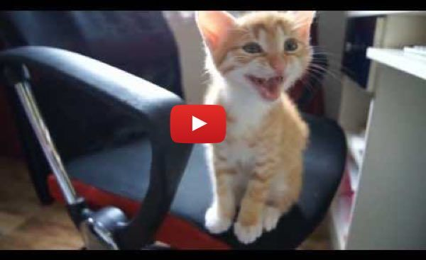 Various Kittens Meowing. This Will Melt Hearts! - Love Meow