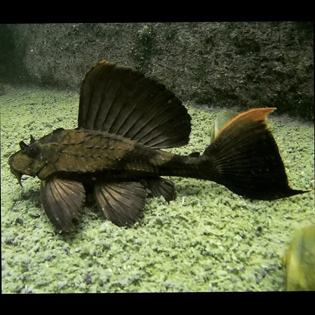 838 best images about pleco and orhers on pinterest for Freshwater butterfly fish