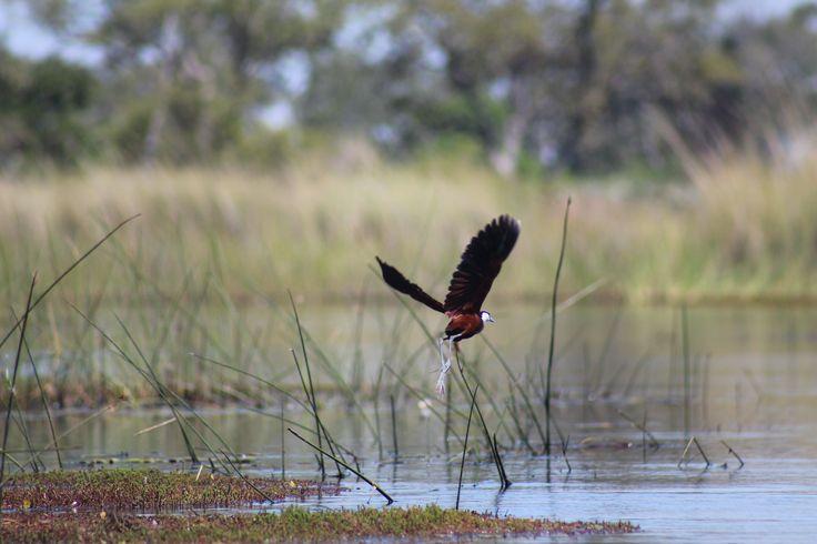 Fra Okawango, Botswana