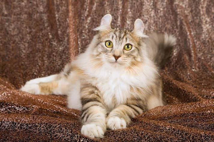 20 Fun Facts You Didn T Know About American Curl Cats Cat Breeds