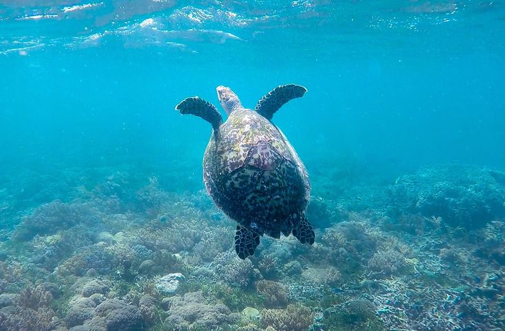 It's so spectacular to meet one of these guys up close and personal and we are so happy to have shared this experience with our friends @onedayonetravel! Thank you for the awesome shot boys! 🐢  📷@onedayonetravel  #underwater #snorkeling #turtle #instaturtle #turtlelover #giliislands #exploreindonesia #gopro #getoutstayout #welltraveled #UnderwaterPhotography #seetheworld #goprophotography #wanderlust #globe_travel #travelpicsdaily #simplyadventure #lifeofadventure #letsgosomewhere