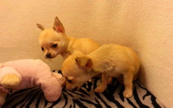 Pin By Lisa S Garage On Dogs Chihuahua Rescue Chihuahua Little