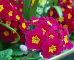 Growing Primrose Flowers Indoors. Perfect for my primrose lane home :)