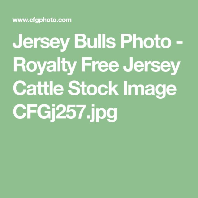 Jersey Bulls Photo - Royalty Free Jersey Cattle Stock Image CFGj257.jpg