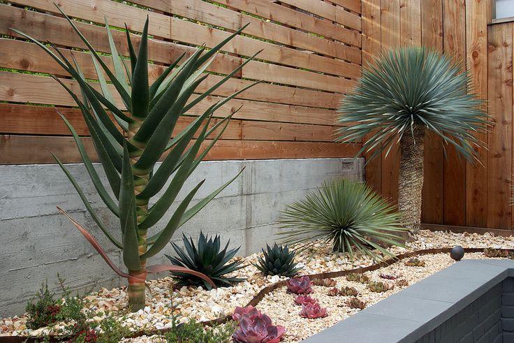 Garden design by Patrick Lannan featuring: Aloe hercules, Yucca rostrata,  and Echeveria nodulosa