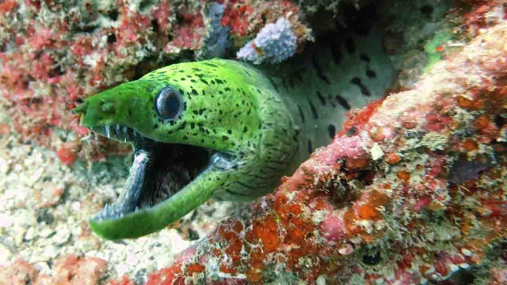 Green moray, underwater, Indonesia | Atlasa.cc #travel #photography
