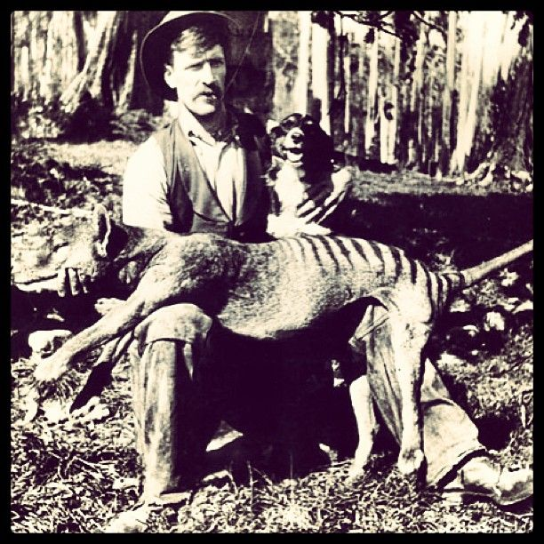 """""""The Van Diemen's Land Company introduced bounties on the thylacine from as early as 1830, and between 1888 and 1909 the Tasmanian government paid £1 per head for adult thylacines and ten shillings for pups."""" Now Extinct!"""