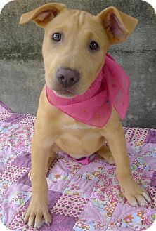 Helena, AL - American Pit Bull Terrier/Shepherd (Unknown Type) Mix. Meet Amethyst, a puppy for adoption. http://www.adoptapet.com/pet/18238863-helena-alabama-american-pit-bull-terrier-mix