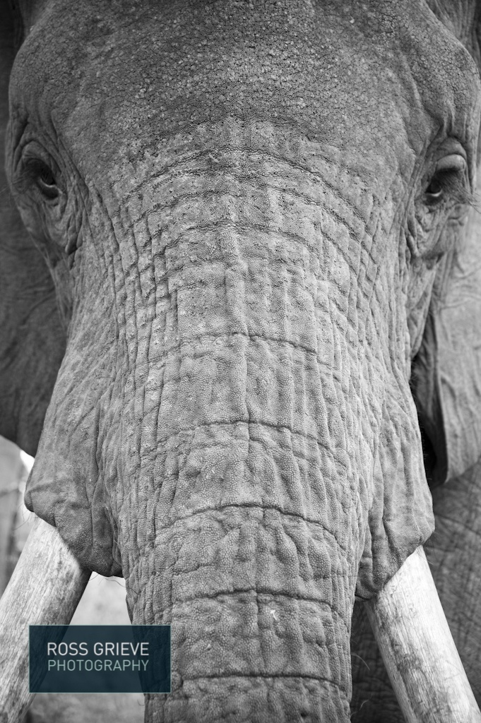 Elephant in Zambia.