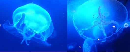 Ohrenquallen #Quallen #Ohrenquallen #Quallencubus  http://www.aquariumwest.de  #Meerwasser-Aquarium  #Aquariumbau #Aquarium München #Aquarienwartung