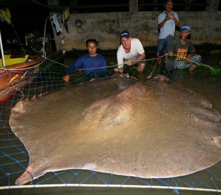 Giant Fresh Water Stingray