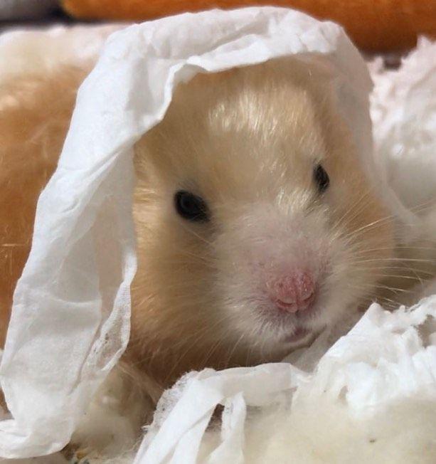 Tumblr In 2020 Animals Tumblr Hamster