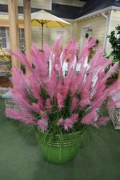 Pampas Grass Seeds Colorfull Home Garden Plants Are Very Beautiful 600PCS #gardenplanters #backyarddeckdesigns