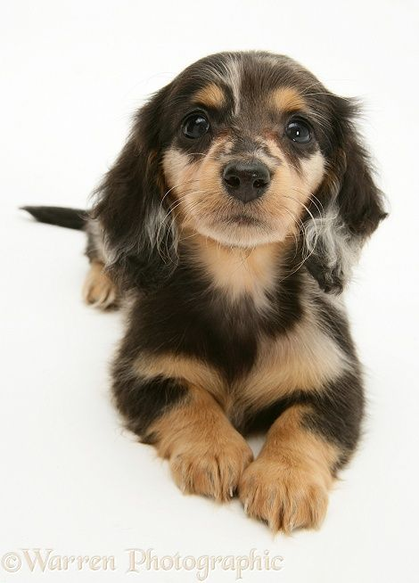 Dog: Silver Dapple Miniature Long-haired Dachshund pup.