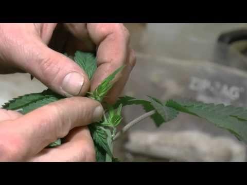 Pre-Trim Going Into Flower , How I Prune Cannabis