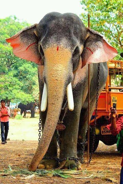 Cute Indian Baby Images For Wallpaper Thechikottukavu Ramachandran Hd Photos Kerala Elephants