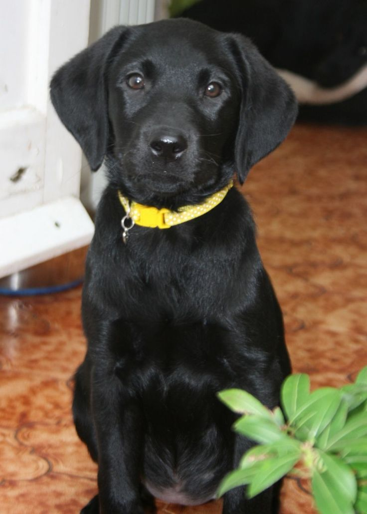 Labradors make wonderful family pets and she would suit either a home or working environment. Description from pets4homes.co.uk. I searched for this on bing.com/images