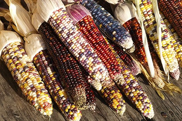 Indian Corn: A Fall Favorite Flint corn, or Indian corn, those ears with the multicolored kernels, crops up in all sorts of fall decorations. How is it different from other types of corn, and can you eat it?