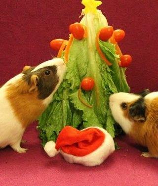 Explore Diy Guinea Pig Ideas Guinea Pigs Cute and more! – Megan Renaud