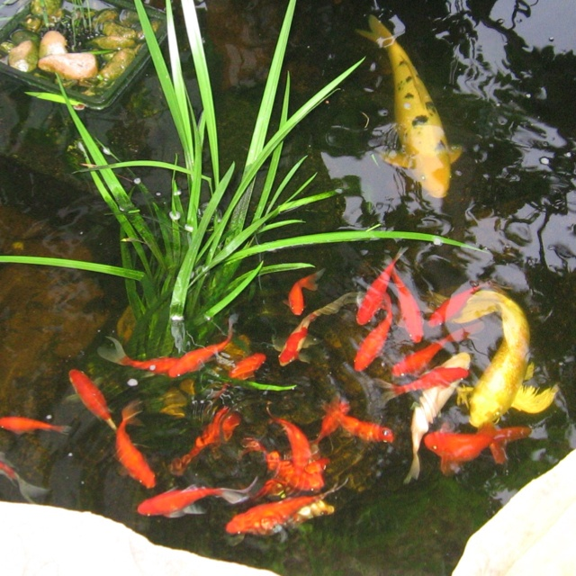10 Best Goldfish Pond Ideas Images On Pinterest
