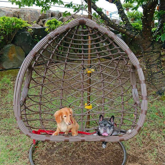 アンジェラビメンバー犬のモモちゃんとミカンちゃんが伊豆旅行に行った報告いただきました伊豆はドッグフレンドリーなホテルやお店がたくさんあっておススメなエリアです まずはワンコの伊豆ぐらんぱる公園での可愛いショット Momo And Mikan Had A Trip Hanging Chair