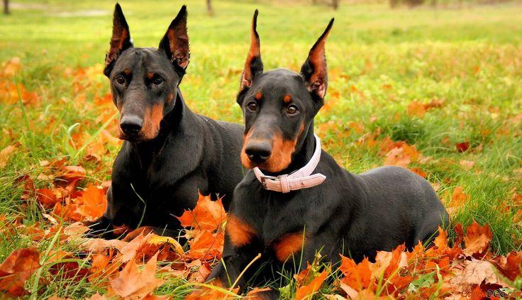 Fotos Dobermänner mit langen Ohren und boshaft, niedlich Maulkörbe.