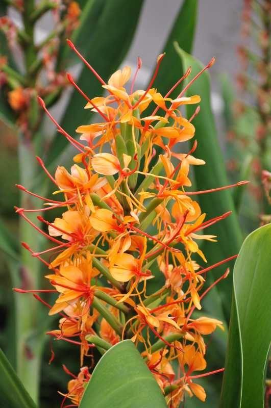 http://jungletropicale.com/2012/10/hedychium-coccineum-tara/