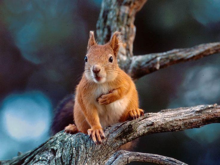 Orava, Sciurus vulgaris - Nisäkkäät - LuontoPortti