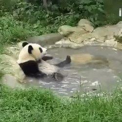 Panda having a bath