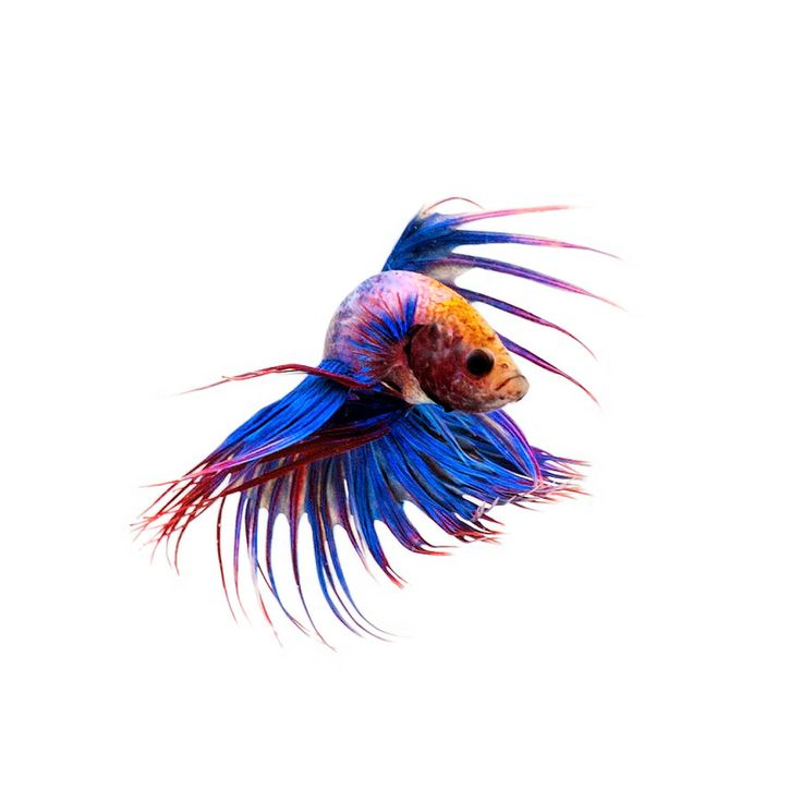 45 best siamese fighting fish images on pinterest for Google fish tank mrdoob