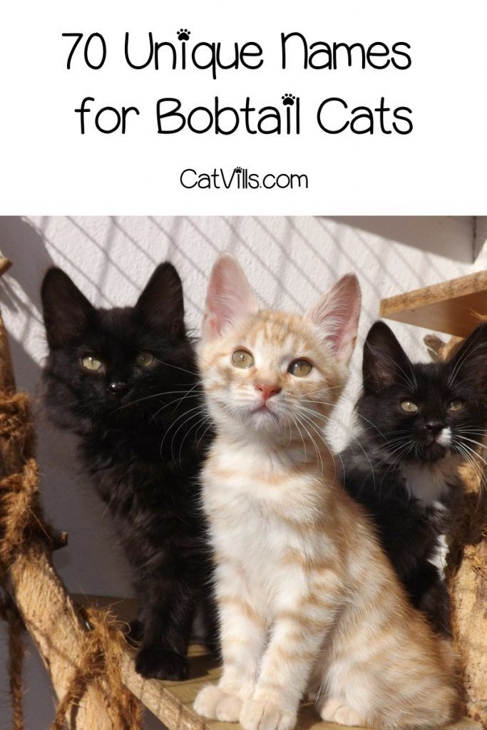 70 Awesome Names For Bobtail Cats Catvills Bobtail Cat Cats Cat Names
