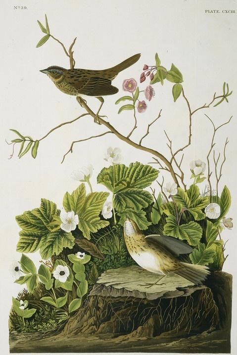 17 Best Images About Artist Audubon On Pinterest Bird